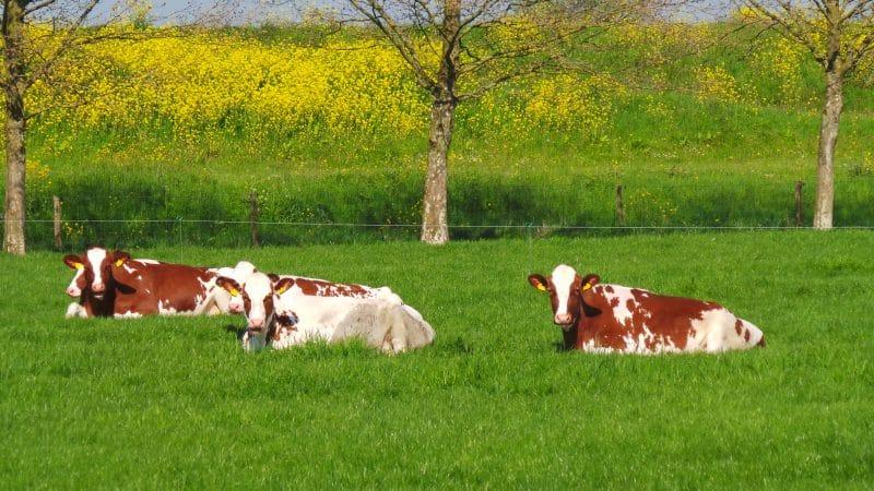 Koeien in de wei | De Maasgaarde