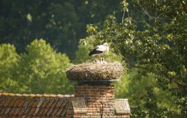 Ooievaar op dak in Megen - De Maasgaarde
