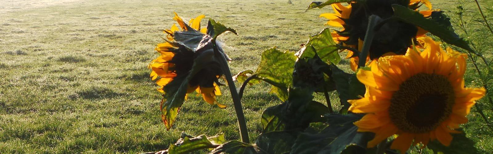 zonnebloemen in weide - De Maasgaarde