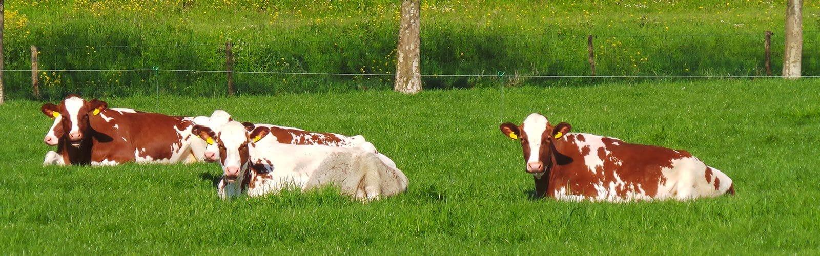 Koeien in de weide - De Maasgaarde
